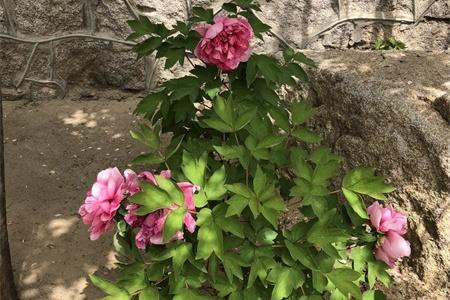 扬州适合养什么花,市花和市树是什么