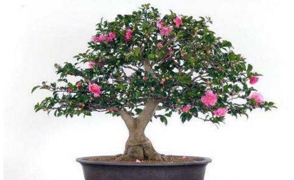 盆栽茶花注重养根