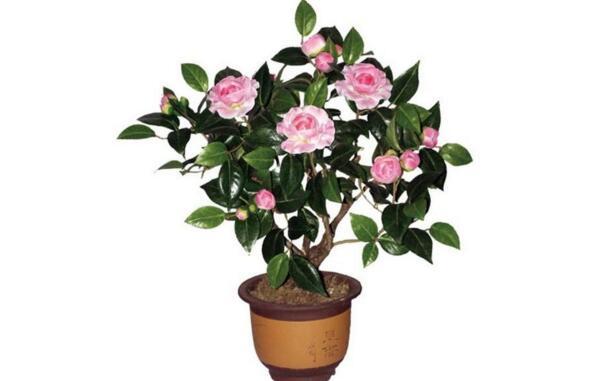 盆栽茶花的注意事项