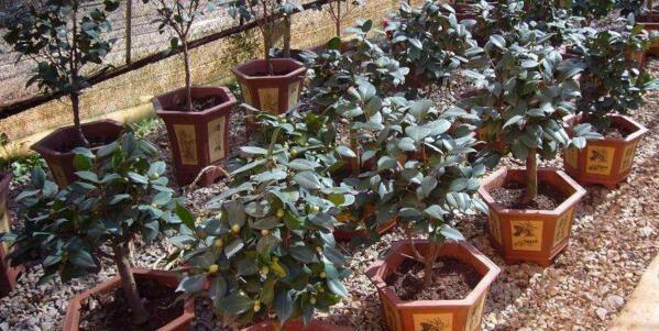 盆栽茶花宜用酸性土