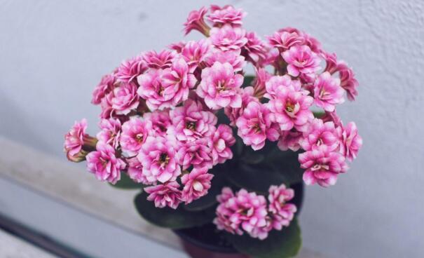长寿花换盆方法