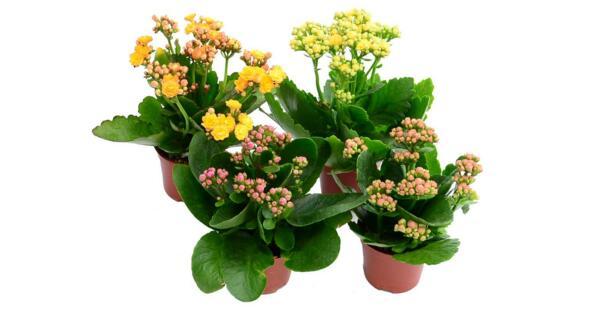 长寿花怎样繁殖