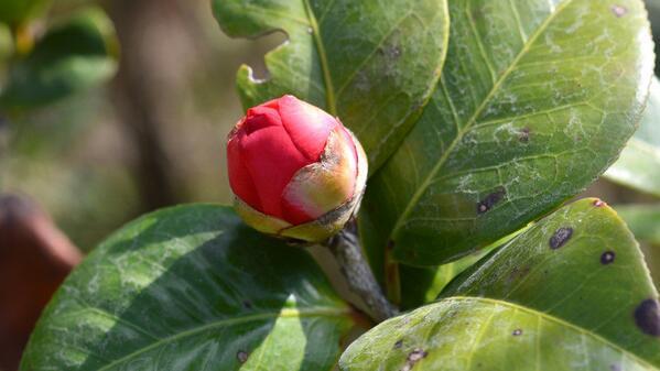 茶花为什么有蕾不开花