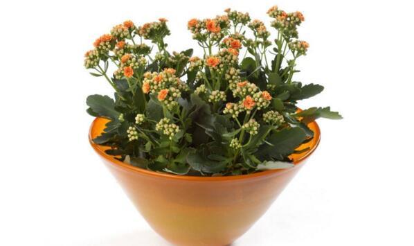 水培长寿花的养殖方法
