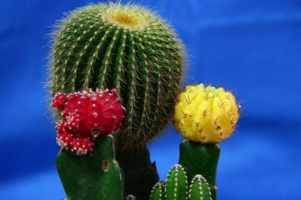 仙人球开花后怎么处理,保证光照充足并减少浇水