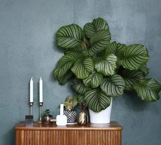 竹芋种类大全名称,44种竹芋种类图片欣赏