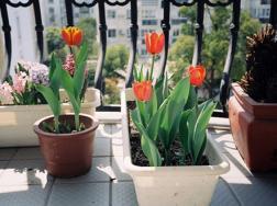 家里如何盆栽郁金香,怎么在家盆栽郁