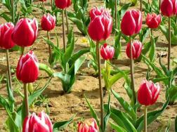 郁金香开花后怎么处理,郁金香开完花