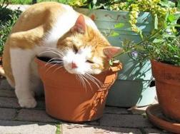 如何种植猫薄荷,怎么种猫薄荷(图文)