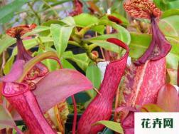 家里养殖猪笼草有什么