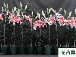 百合花常见盆栽问题总结
