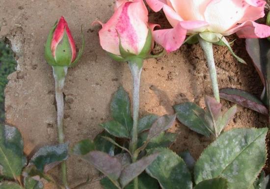 感染白粉病的玫瑰