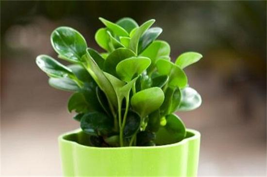 可扦插繁殖的植物