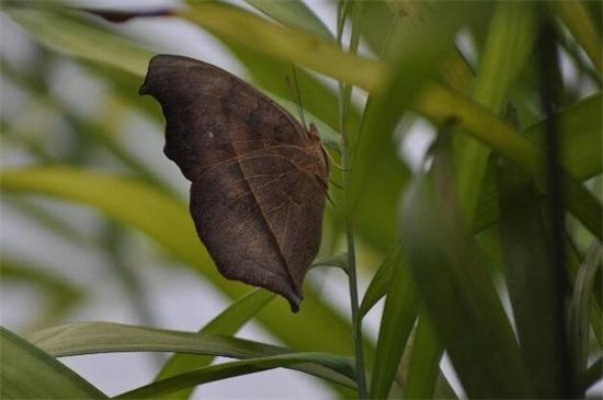 枯叶蝶对于女孩的寓意,女子青春逝去和缅怀风光岁月