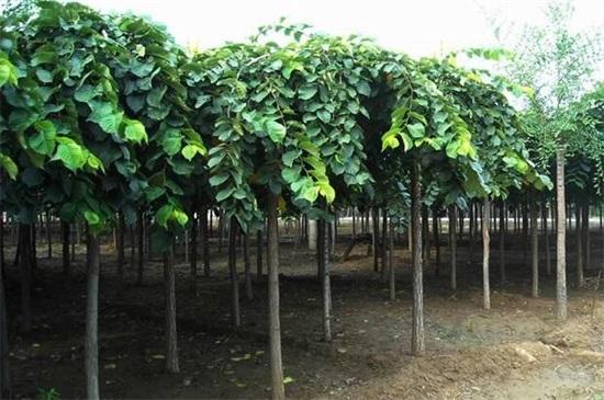 什么树长得快又遮阴,盘点10种夏日遮阴良好的植物
