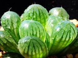 凝脂菊和玉露的区别