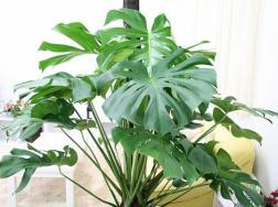 怎样选购观叶植物