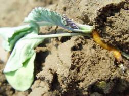 怎样防治金针虫