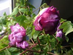 水分失调使花卉受害有哪些原因