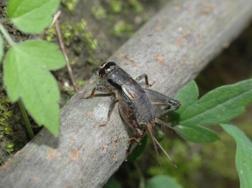 怎样防治蟋蟀
