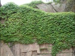 攀缘植物会损坏墙面和滋生蚊虫吗