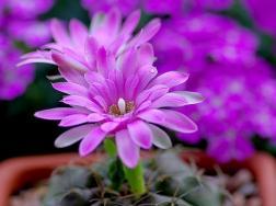 绯花玉什么时候开花:每年的5月份是