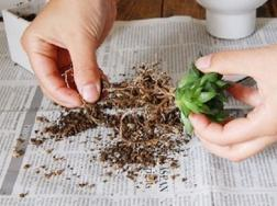 多肉植物繁殖方法:常用繁殖方法有播种、扦插、嫁接及分株