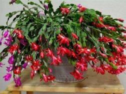 阿斯匹林主要能浇哪种花,可浇兰花和